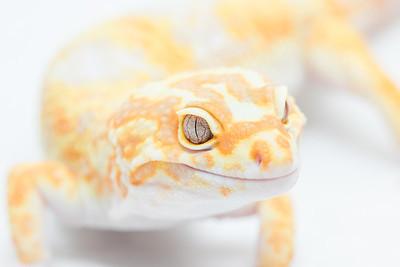 Leopard Geckos 2015