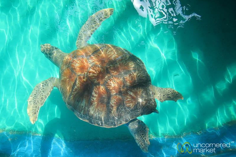 Adult Hawksbill Sea Turtle - Mazunte, Mexico