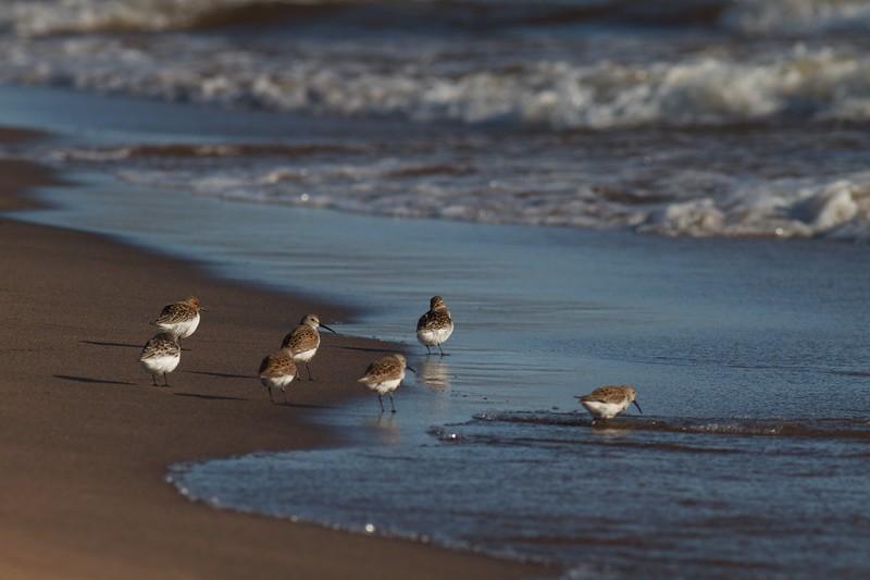 Shorebirds mixed flock Wisconsin Point Superior WI IMG_1080.jpg