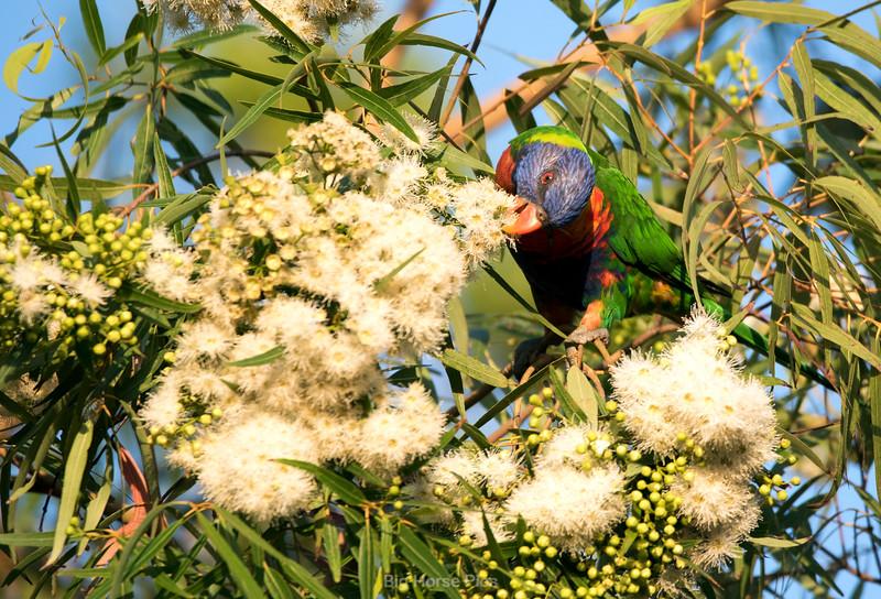 Cronulla parrots 5.jpg