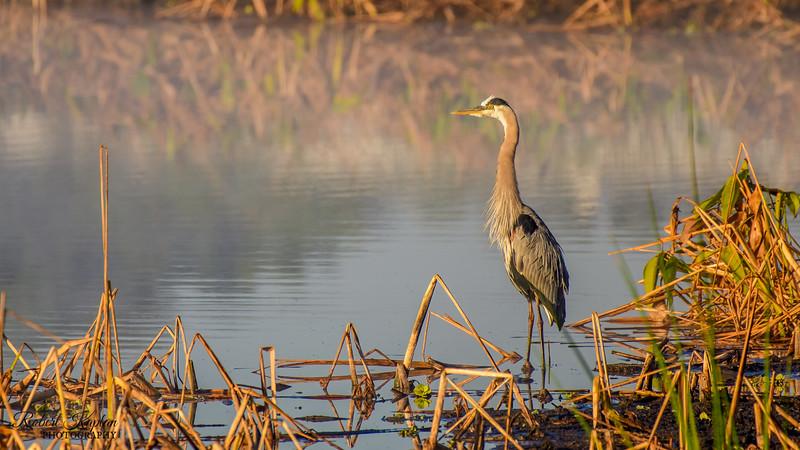 Great Blue Heron-6866.jpg