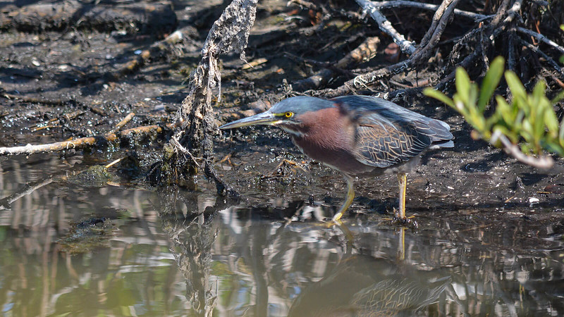 Green heron close up