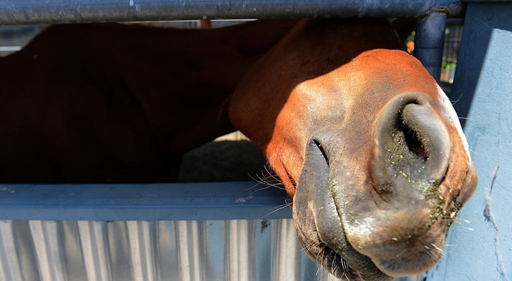 . Sunny Dayz, the horse, is looking for her owner at a San Bernardino animal shelter, after police found her lost on San Bernardino streets. (Rick Sforza/The Sun, San Bernardino)