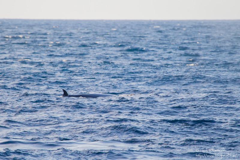 Byrde's Whale - Near Playa Negra, Isla Marchena, Galapagos, Ecuador