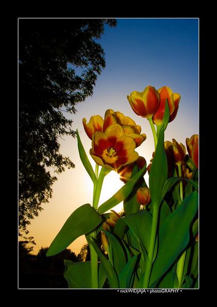 Tulips outdoor_03-EditB copy.jpg