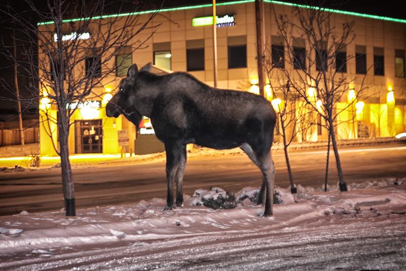 Moose-11212009-3a.jpg