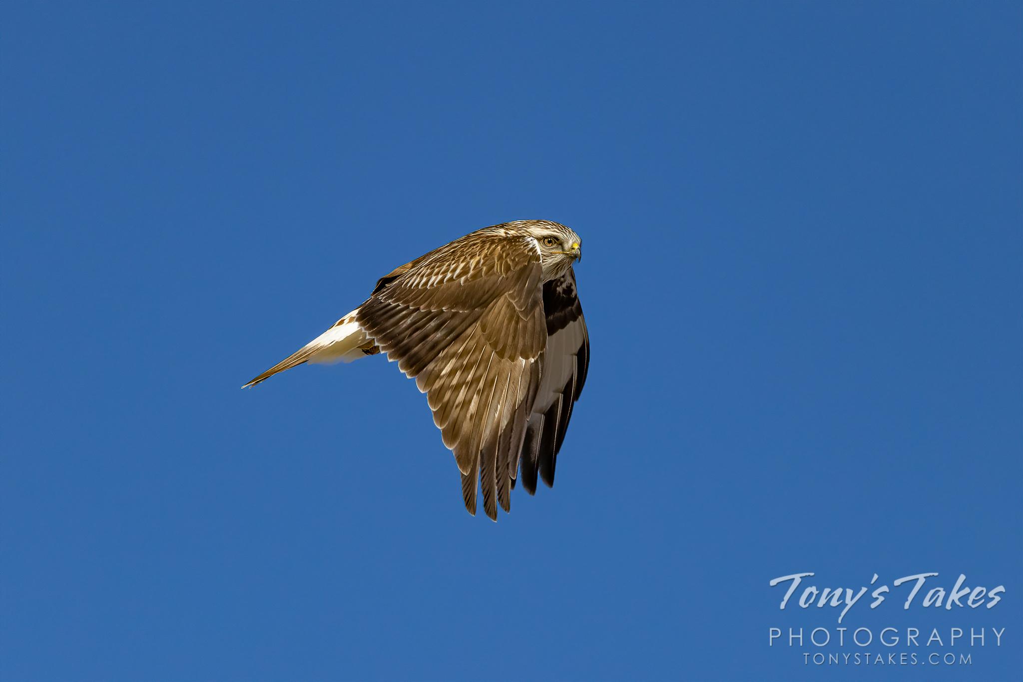 A rough-legged hawk takes flight on the Colorado plains. (© Tony's Takes)