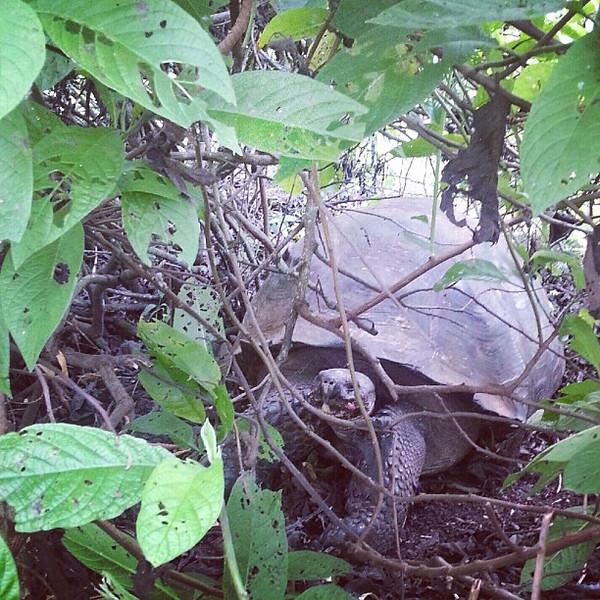 First_sighting_at_the_tortoise_park__they_estimate_she_is_200_years_old_but_aren_t_sure_because_no_one_is_that_old._Now_they_have_begun_to_insert_them_with_chips_to_monitor_their_progress..jpg