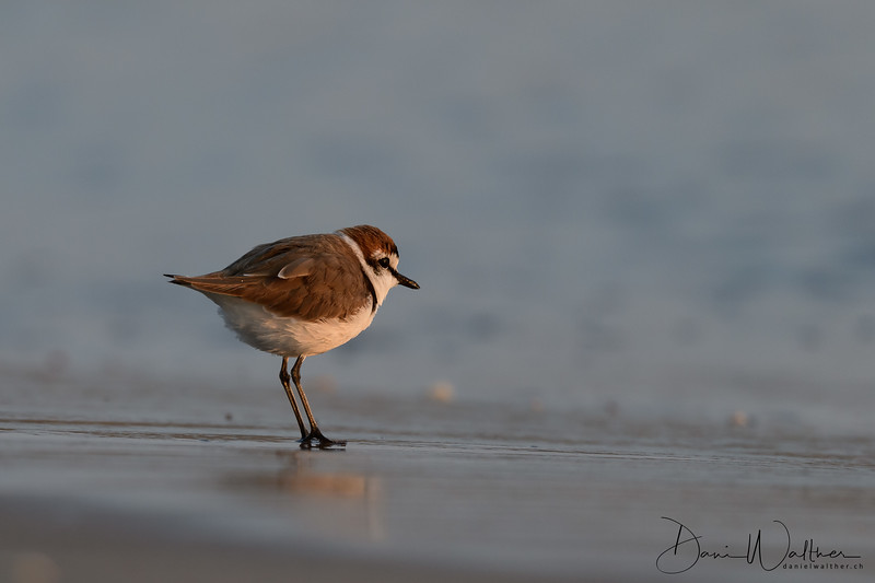 Kentish Plover on the beach