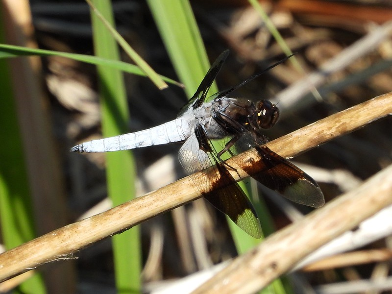 Common Whitetail (Plathemis lydia) - male  (Photo by Don McLeod)