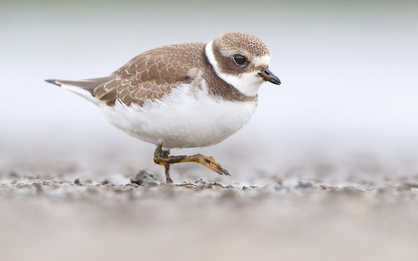Plovers & Killdeer