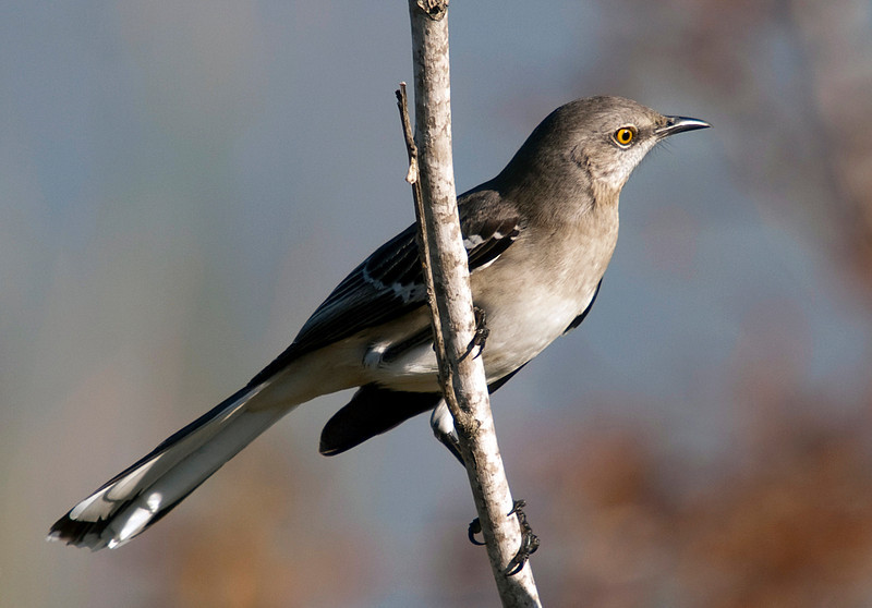 Mockingbird in the Willow Waterhole, Houston