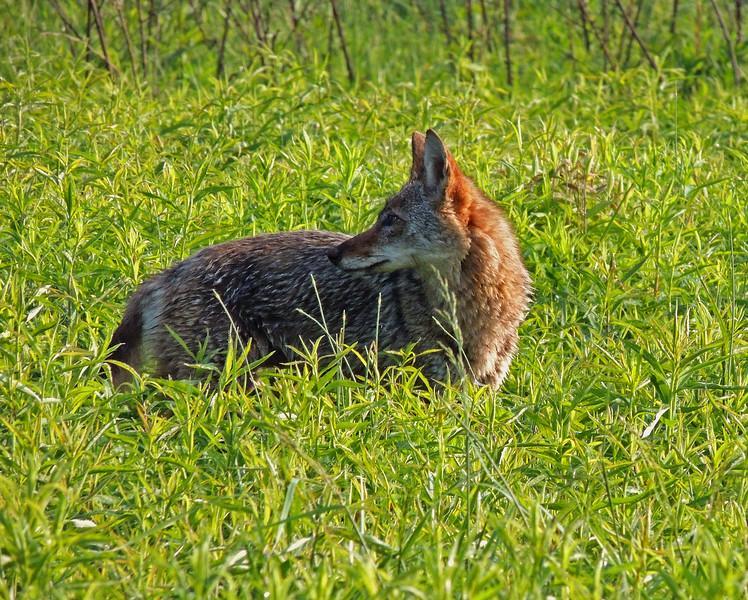 coyote 01.jpg