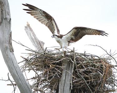Ospreys at Patoka Lake