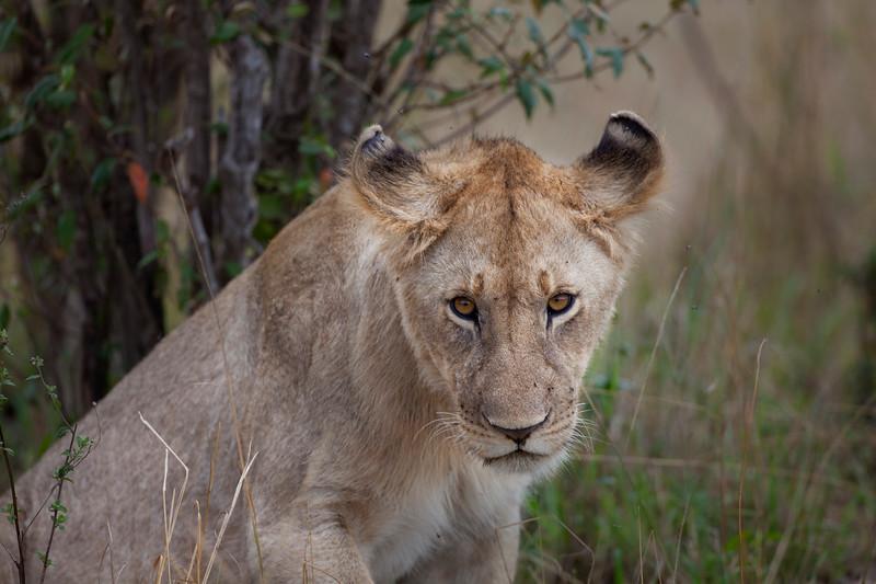 Lion _MG_9229.jpg