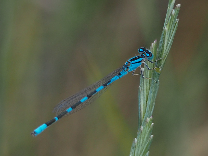 Alkali Bluet, male