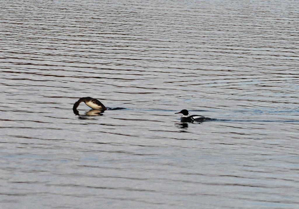 . A female merganser dives as a male paddles behind.   (Pioneer Press: Dave Orrick)