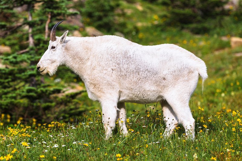 Mountain goat, Glacier National Park, Montana, USA.