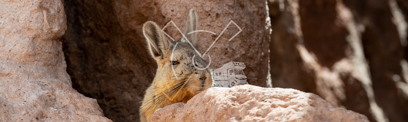 Viscacha sunbathing at Eduardo Avaroa Andean Fauna National Reserve