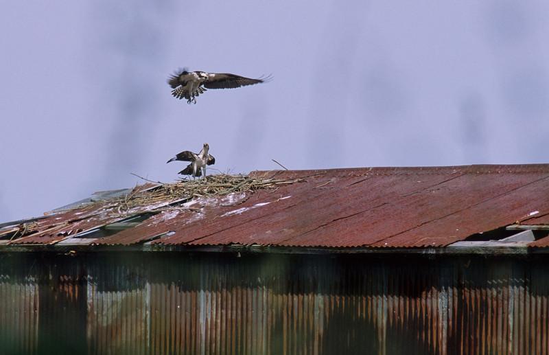 ospreylanding.jpg