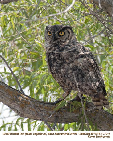 Great Horned Owl A107211.jpg