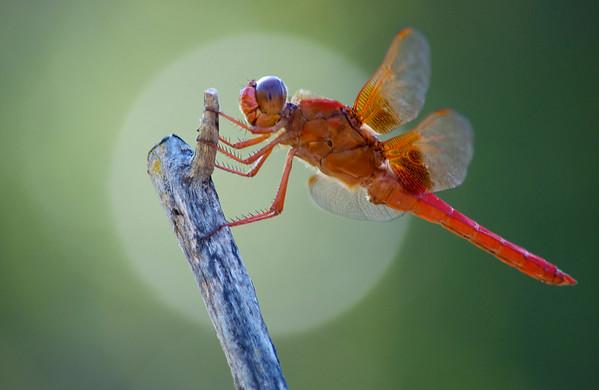 Dragonfly Whisperer