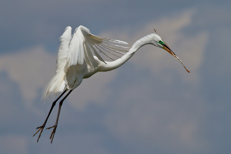 Great Egret in flight with nest material, over Gatorland