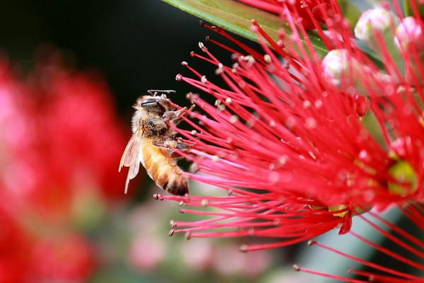 Honey bee on Rata (2)