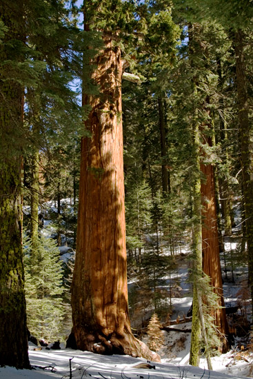 Sequoia_trees_1.jpg