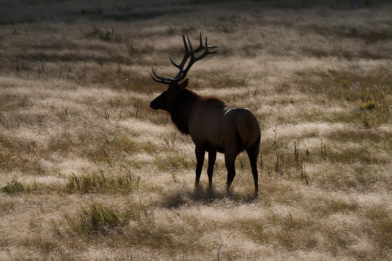"""Bull Elk are rated by the number of tines on each antler; This would be called a """"6x6"""" [September; Yellowstone National Park, Wyoming]"""
