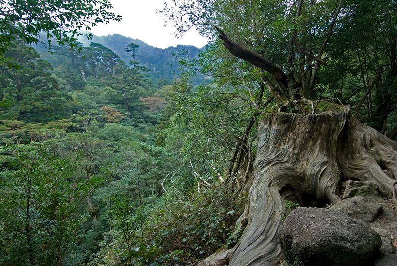 Enhanced photo of the canopy in Shiratani Unsuikyo in Yakushima, Japan