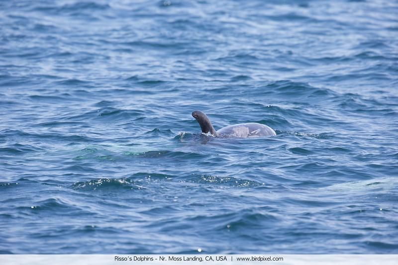 Risso's Dolphins - Nr. Moss Landing, CA, USA