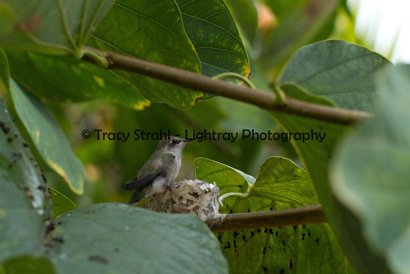 Humming bird nest 05-03-2012