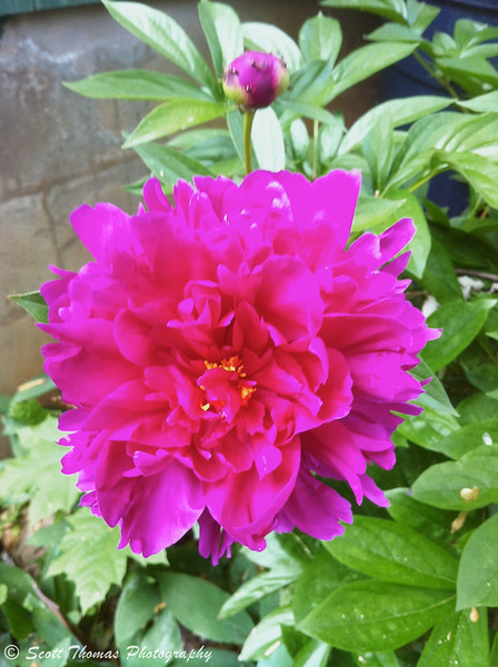 A purple-ish red peony flower in my yard.