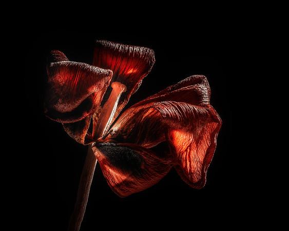 Dried Tulip Blossom