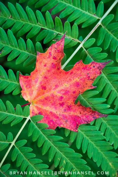 Maple Leaf on Fern