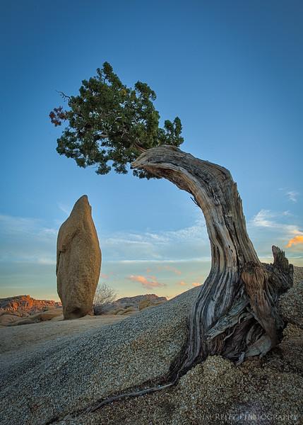 Balanced rock and Juniper - Joshua Tree National Park