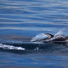 Pacific White-Sided Dolphin - BC Coast