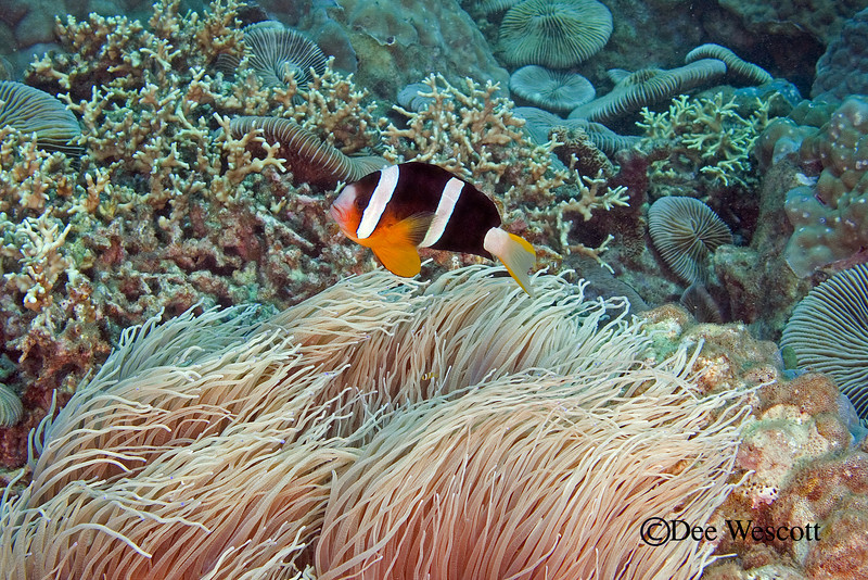 Clark's Anenome Fish 3.jpg