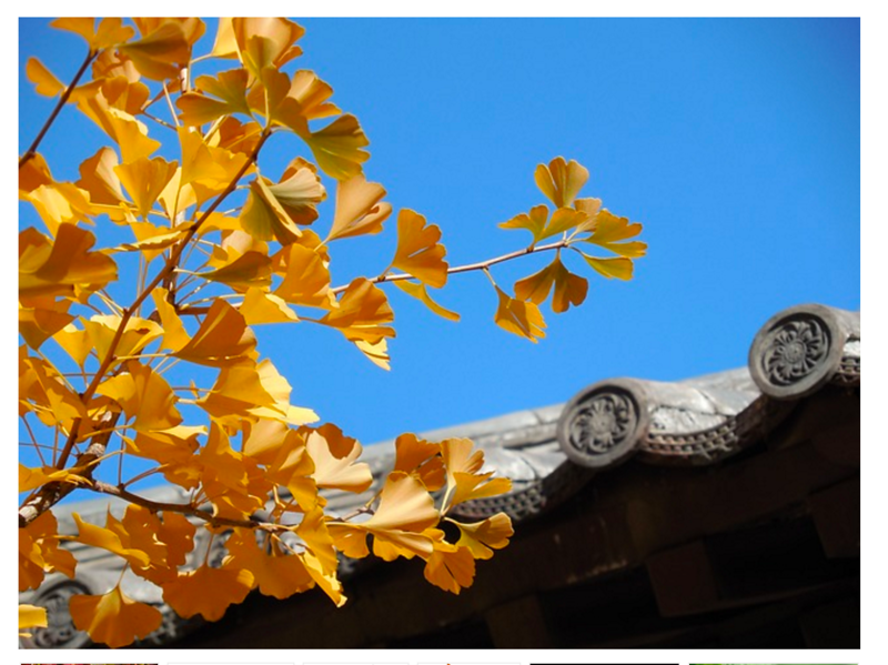 Gingko Autumn Gold.png