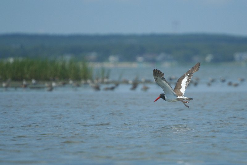 Oystercatcher in flight. Kayaking off Road K, Hampton Bays.