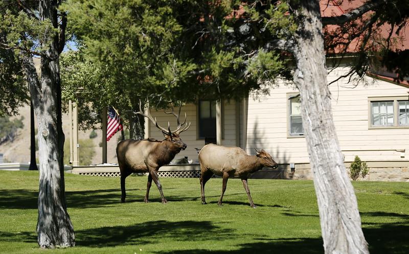 Buck chasing a doe