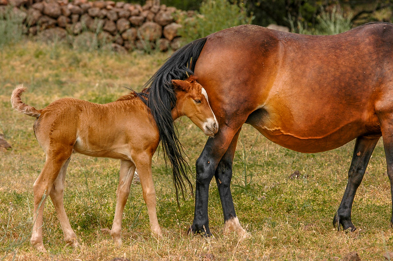 Wild Horse Foal and Mother #3