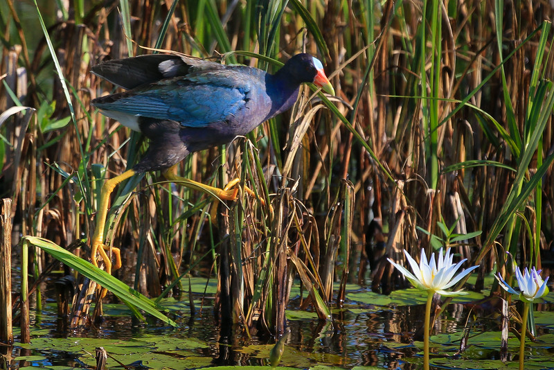 zAnahuac 8-14-14, NEW T3i, 079A, Adult Purple Gallinule (1 of 1).jpg