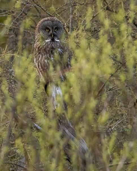 Great Gray Owl McDavitt Road Things that Go Buzz, Croak, Hoot & Bump in the Night Sax-Zim Bog MN  IMGC6745.jpg