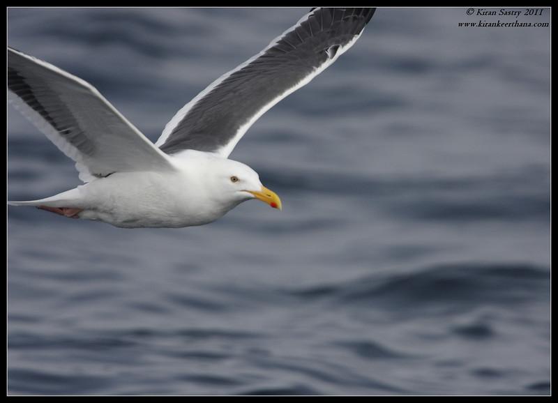 Western Gull, SDFO Jan 1st Pelagic Trip Pacific Ocean, San Diego County, California, January 2012