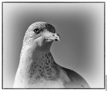 Seagull November 2020