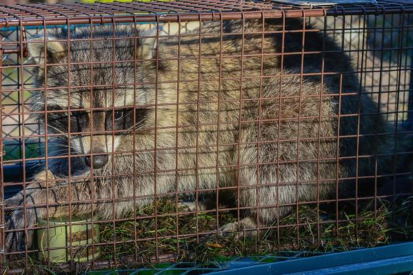 8 2013 Aug 14 Raccoon*