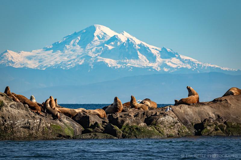 Steller's Sea Lions in front of Mount Baker.