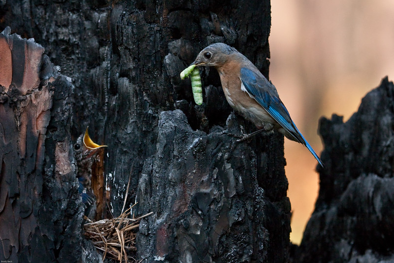 Eastern-bluebird-feeding-young.jpg